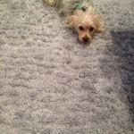 Dublin-Dog-carpet-clean